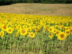 Sunflowers in Charente