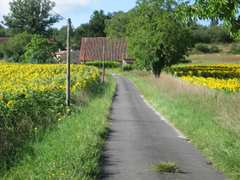 Sunflowers from the lane